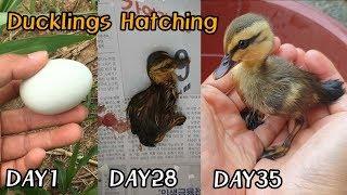 논두렁에서 발견된 미운오리새끼 부화ㅣDucklings hatching