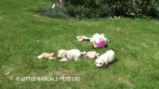 Little Rascals Uk Breeders New Litter Of Cavachon Puppies