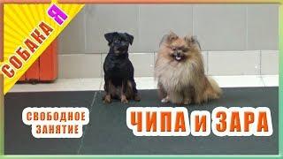 Собаки дурачатся на занятиях.  Собака я. Брабансон Зара и шпиц Чипа.