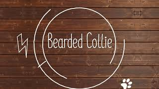 Bearded Collie Breed Facts