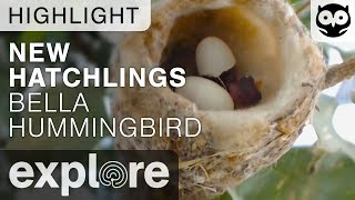 New Hatchlings - Bella Hummingbird Nest - Live Cam Highlight