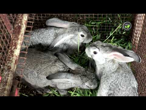 Rabbit Breeds in India, Breeding and Care of Kittens
