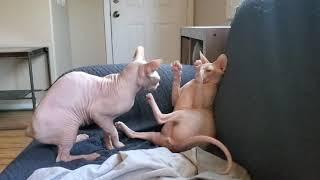 Sphynx Cat Wrestling