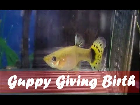 Pregnant Guppy Giving Birth to Fry