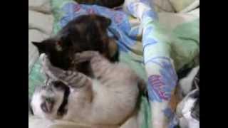 うちの白猫(名前ミルク)と、サビ猫(名前アズキ)が、ふとんの上で、...