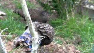 Malay peacock-pheasant (polyplectron malacense)
