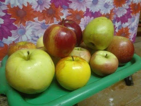Дегустация плодов яблони  Институт плодоводства | технологии | коваленко | новавита | беларусь | черенки | саженцы | надейны | дарунак | поспех | крапач