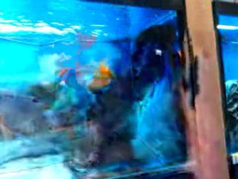 Oscar Donated To Aquarium Showroom In San Jose Ca