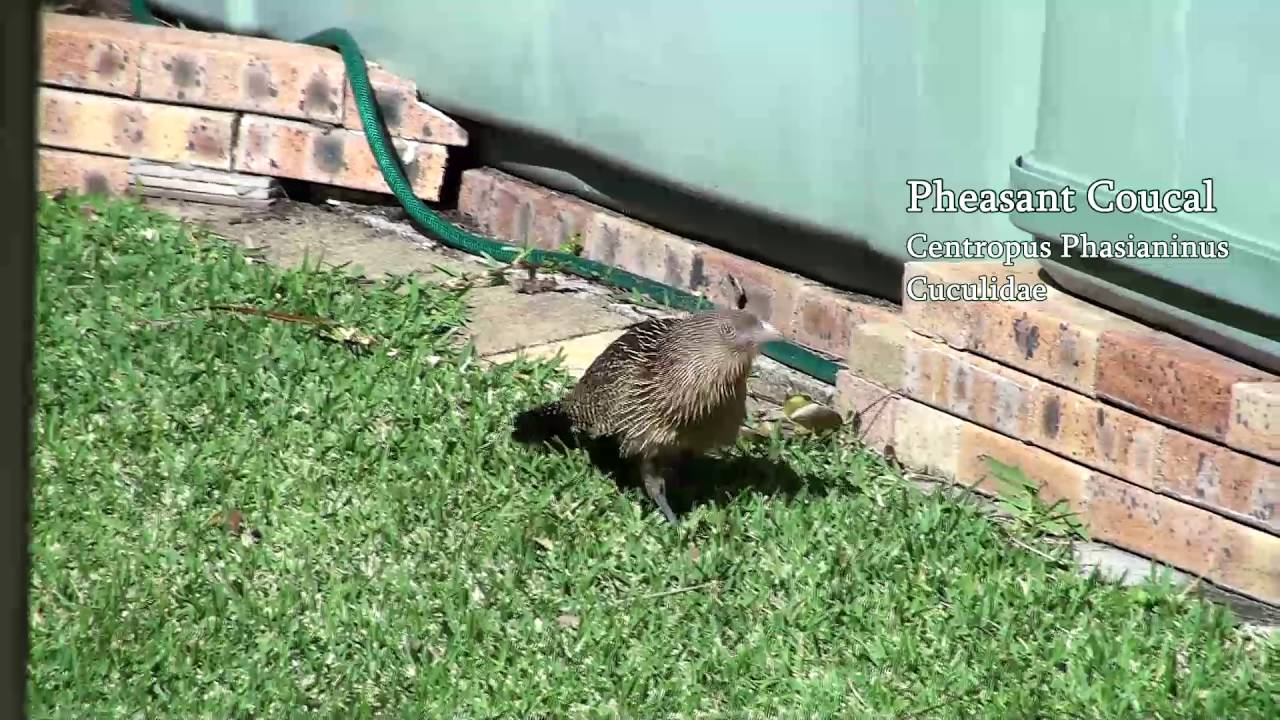 pheasant coucal in the backyard youtube