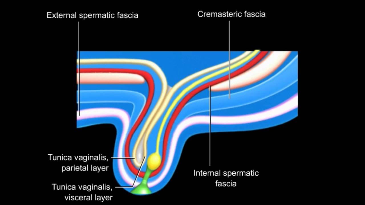 Desarrollo del conducto inguinal y descenso de testiculos y ovarios ...