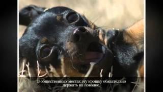 Маленькие породы собак Карликовый пинчер