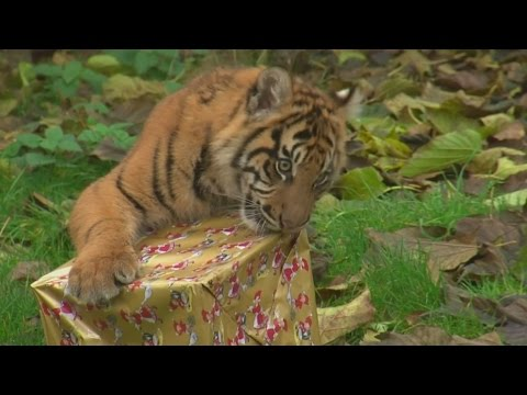 Tiger cubs open Christmas presents at London Zoo