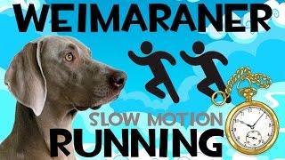 Weimaraner Running