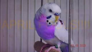 Rare/Extinct Budgie/Parakeet Mutations (Волнистых попугаев)