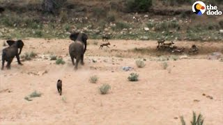 Elephant Mom Chases Wild Dogs Away From Her Baby