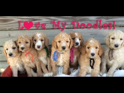 Goldendoodles puppies Playing