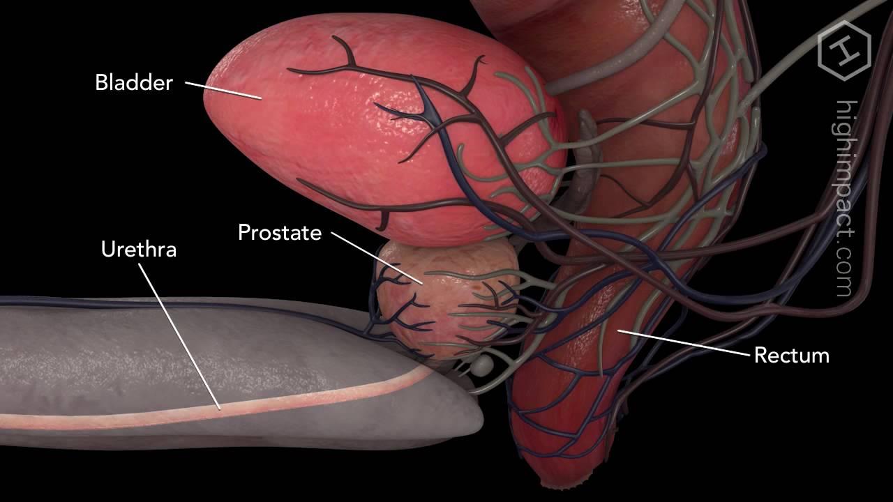 Prostate Anatomy - YouTube