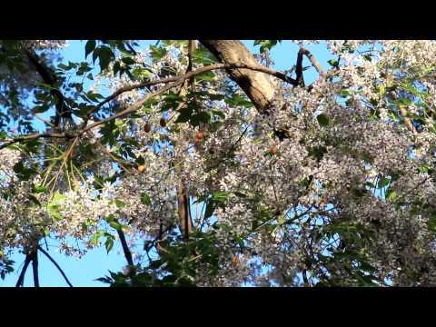 苦楝樹( 苦苓樹) -2 /( China tree /china berry ) -2011-3-20