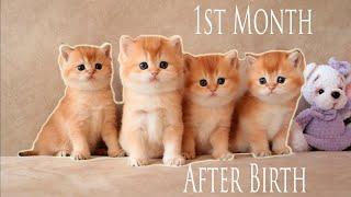 Primer mes después del nacimiento   Cuatro gatito dorado   Pelo corto británico