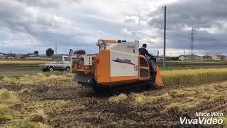 🗻🇯🇵Cuộc sống Nhật Bản⛩ Gặt lúa ở Nhật 🍀