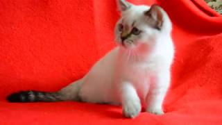 Купить шотландского котенка уникального окраса? Котята для Вас!