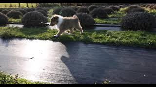 Sheltie running in slomo; Mia's 2021 litter, Puppy 4