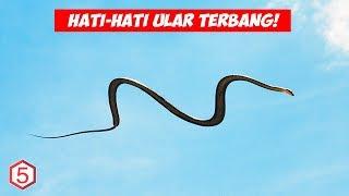 Kalau Liat ular ini Kabur Secepatnya, Karena Ular ini Bisa Terbang Meski tidak punya Sayap