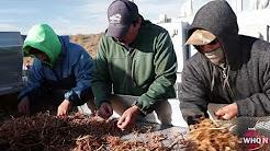Goji Root Harvesting at Amway's Trout Lake Farm   WHQ News