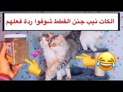 حشيش القطط _ الكات نيب Catnip / Mohamed Vlog