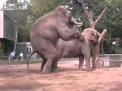 Cận cảnh voi giao phối cực độc