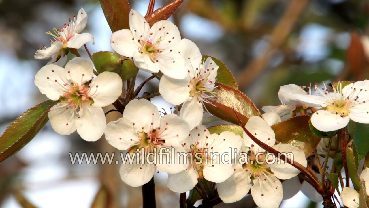 Pictures Of Pear Tree Blossoms