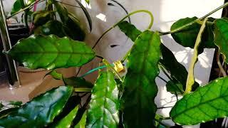 Как выросла хойя Globulosa Pubicalyx Silver Pink Caudata Silver небольшой обзор