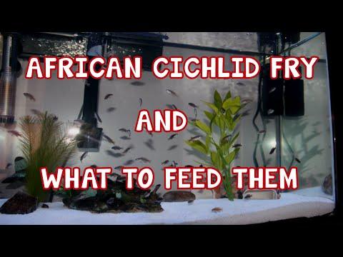 FEEDING FRY │ AFRICAN CICHLID │ BABY FOOD