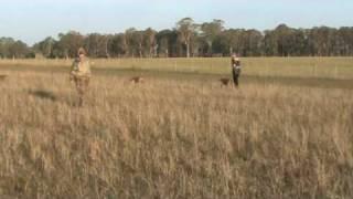 Weimaraner Quail Season 2009 Training An Adult Dog Part One
