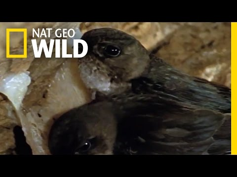 Salivating For A New Nest | Wild Borneo