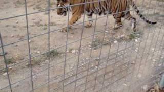 tigger the tiger chuffing