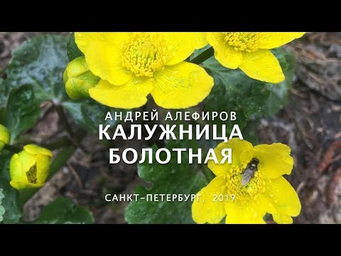 Калужница болотная. Алефиров А.Н.