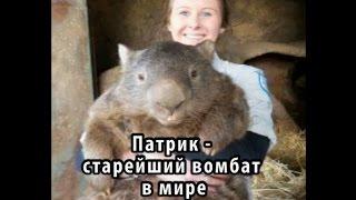 Патрик - старейший вомбат в мире