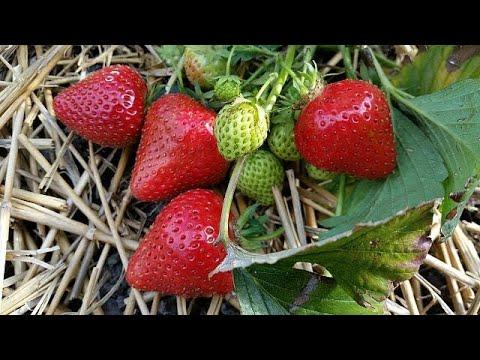 Senegal: une nouvelle variété de fraises cultivée