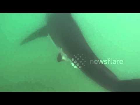 Great White Shark in Manhattan Beach California 7/5/2015