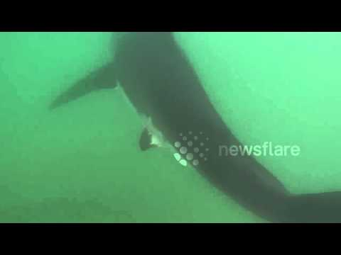 Great White Shark in Manhattan Beach California 7/5/2015