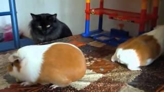 Морские свинки и кошка