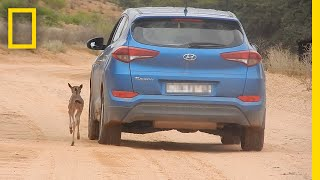 Lost Baby Wildebeest Mistakes Car for Mom | National Geographic thumbnail