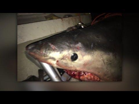 CNN: Australian fisherman facing off with a great white shark