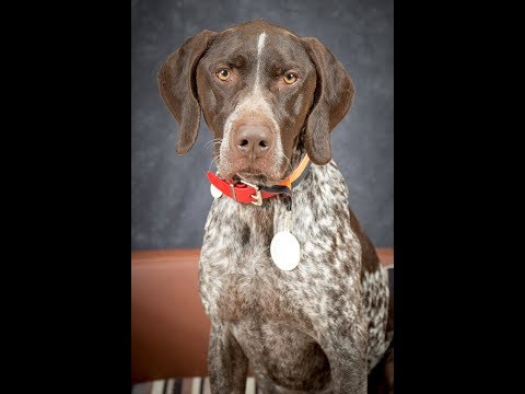 Max - German Shorthaired Pointer - 3 Weeks Residential Dog Training
