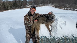 Huge SILVER and BLACK Coyote Trapped!!!