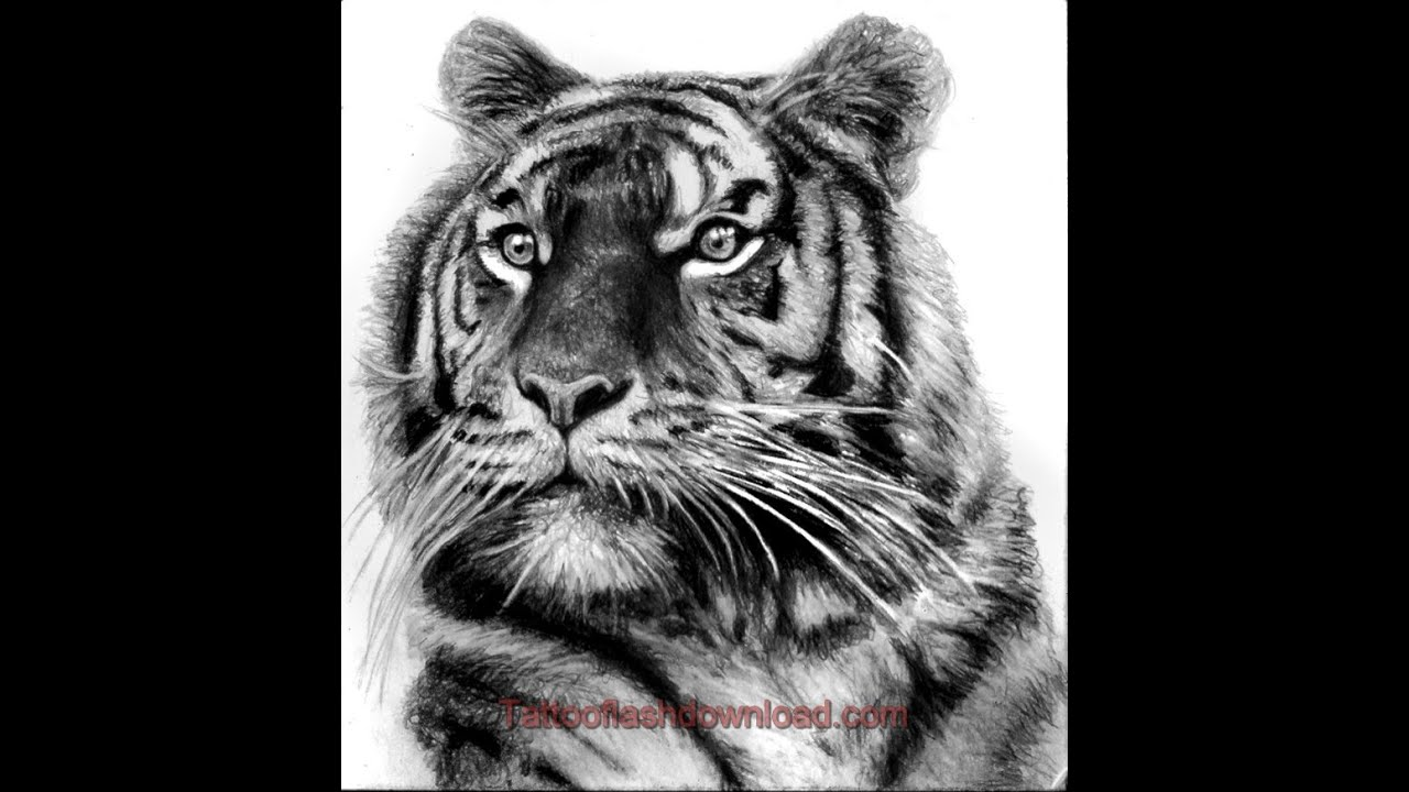 Drawings of tigers in pencil dating 2