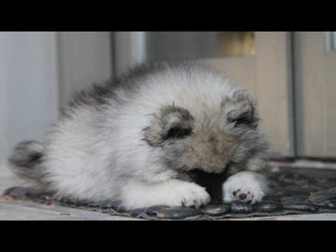 8 Week Old Keeshond Puppy Comes Home for the First Time