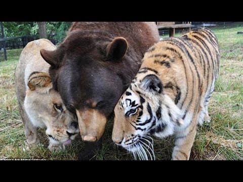 Belle amitié entre tigre, ours et lion - ZAPPING SAUVAGE