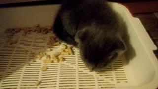Шотландские вислоухие котята показ миски и лотка